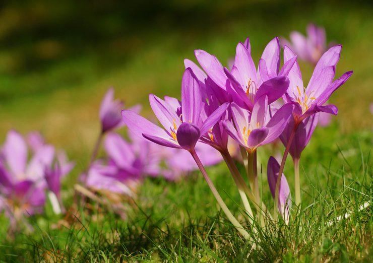 Безвременник – посадка и уход в открытом грунте. Выращивание безвременника из семян. Описание, виды. Фото
