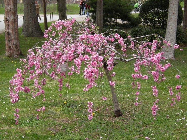 Миндаль низкий радует цветоводов обильным и очень красивым цветением