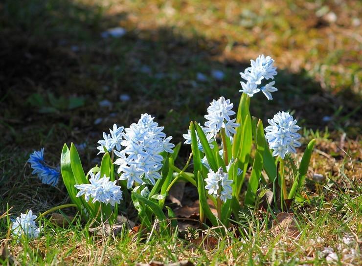 Уход за пушкинией в саду