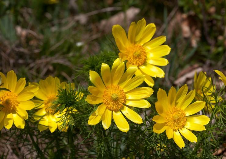 Адонис: посадка и уход в открытом грунте, выращивание из семян