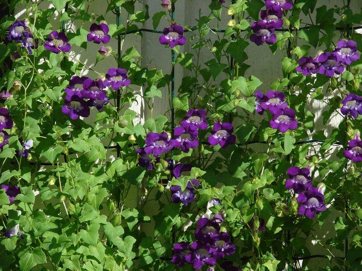 Уход за азариной в саду