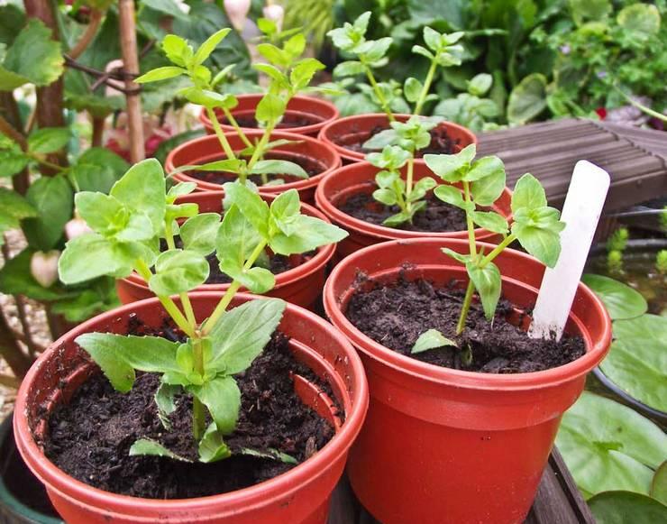 Выращивание диасции из семян