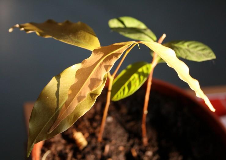 Выращивание личи из косточки