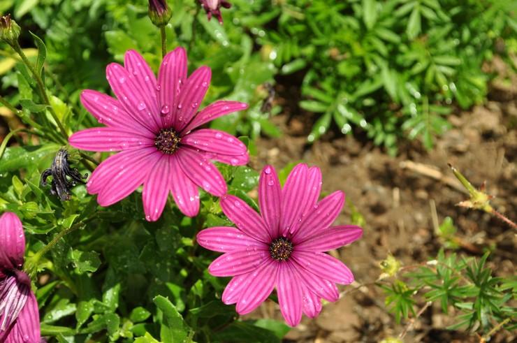 Уход за остеоспермумом в саду