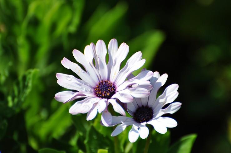 Виды и сортаостеоспермума