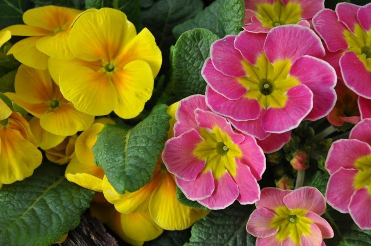 Описание цветка примулы