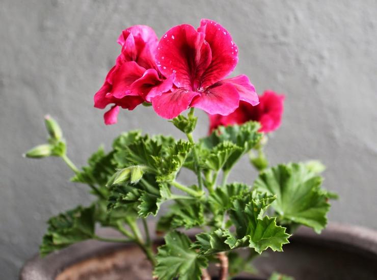 Королевская пеларгония хорошо реагирует на обильный полив во время цветения