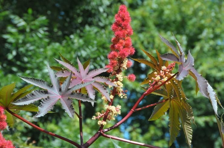 Клещевина: посадка и уход в открытом грунте, выращивание из семян