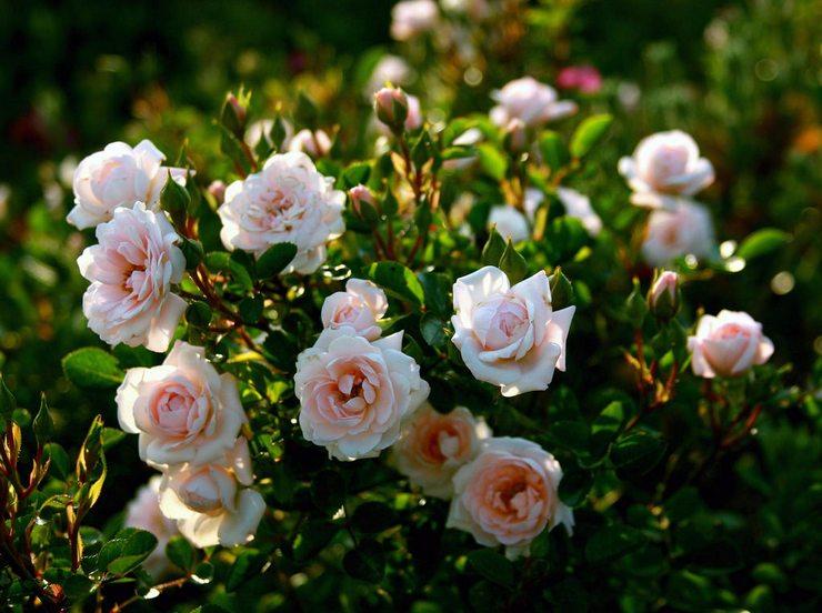 Кустовые розы: посадка и уход в открытом грунте, выращивание в саду