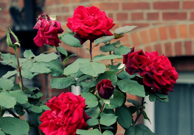 Особенности выращивания кустовых роз