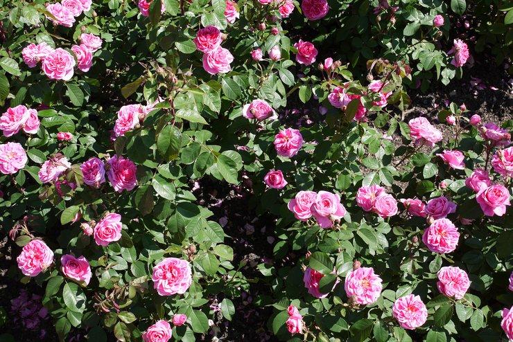 Уход за розами в саду