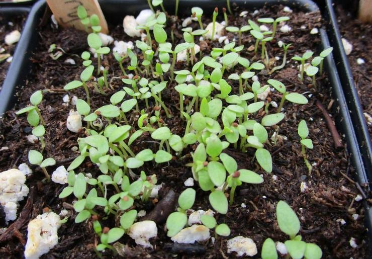 Выращивание сальпиглоссиса из семян