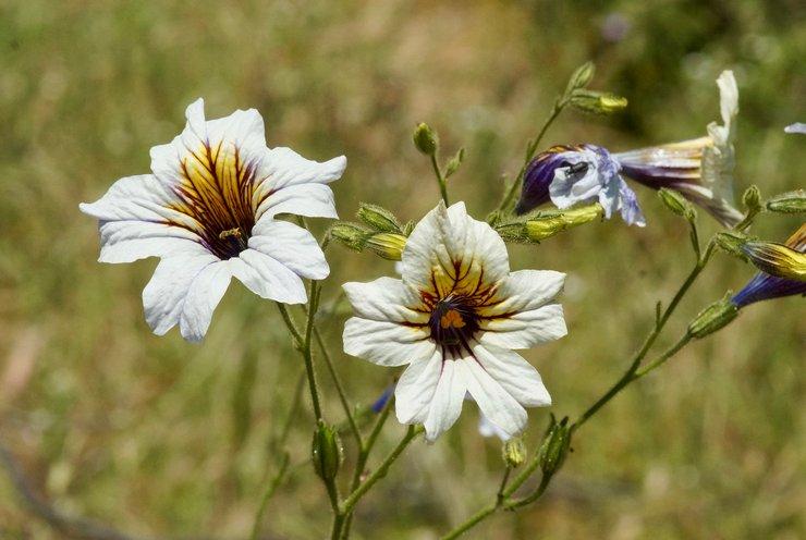 Виды и сорта сальпиглоссиса