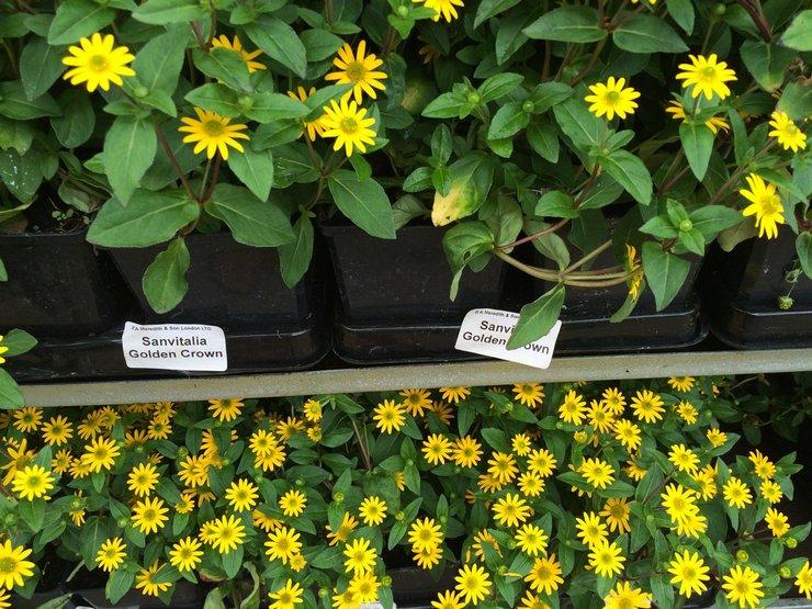 Выращивание санвиталии из семян