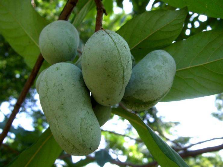 Азимина: посадка и уход в открытом грунте, выращивание в саду