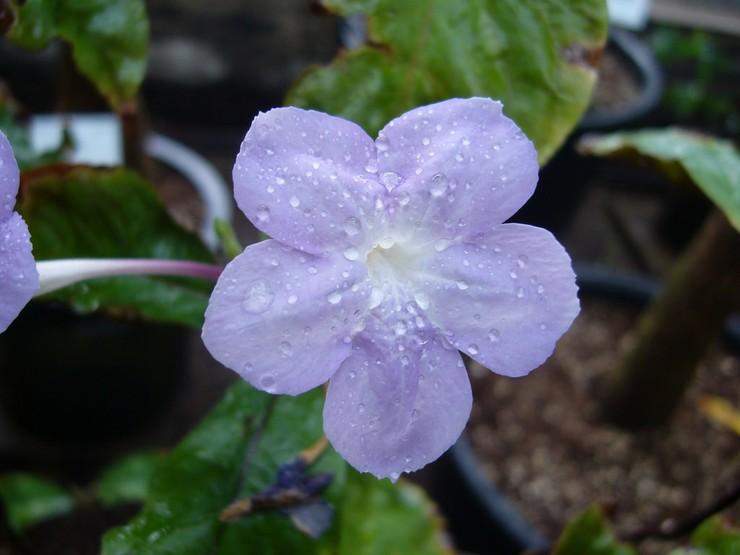 Когда азистазия начинает активно цвести, кусты требуется поливать намного чаще.