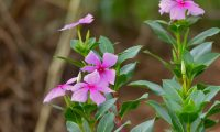 Катарантус: уход в домашних условиях, выращивание в саду