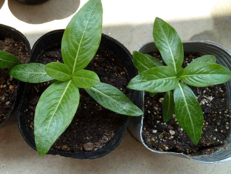 Выращивание катарантуса из семян