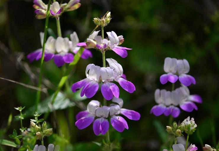 Коллинсия: посадка и уход в открытом грунте, выращивание из семян