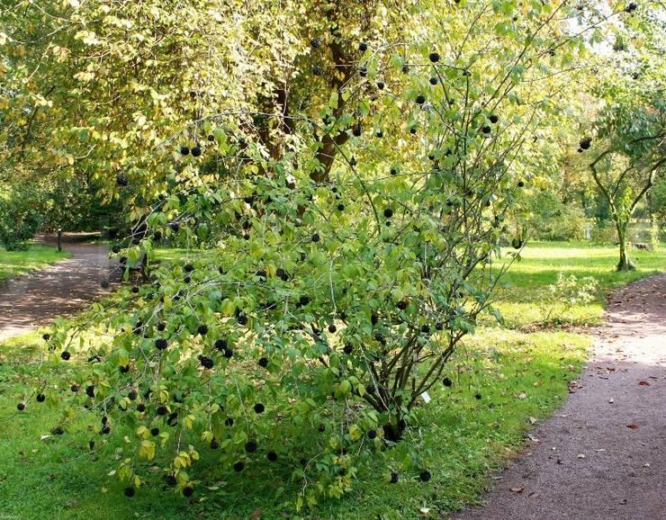 Уход за элеутерококком в саду