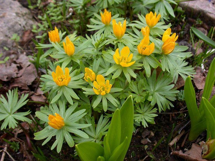 Эрантис (весенник): посадка и уход в открытом грунте, выращивание из семян