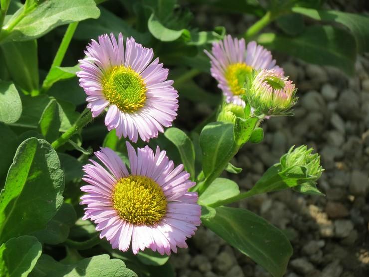 Уход за эригероном в саду
