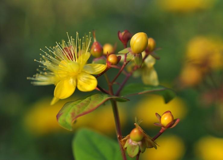 Зверобой: посадка и уход в открытом грунте, лечебные свойства и противопоказания