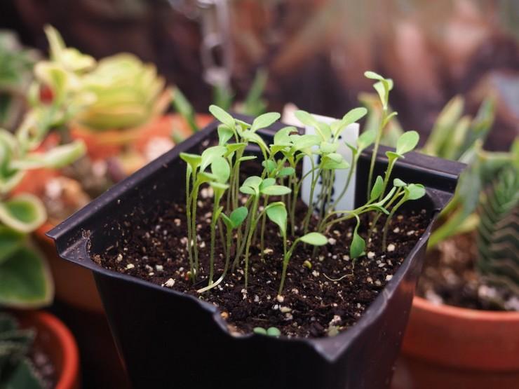 Выращивание энотеры из семян