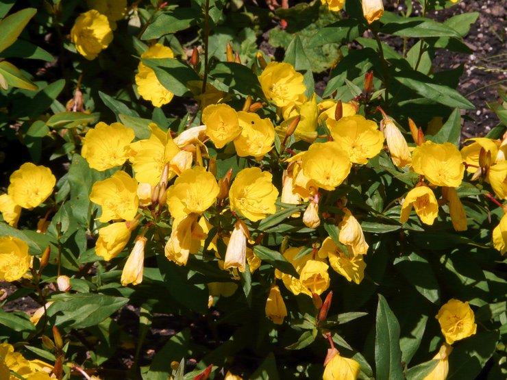 Уход за энотерой в саду