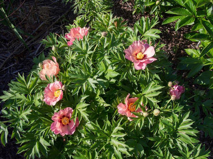 Обрезку пиона осуществляют весной, до наступления вегетационного периода