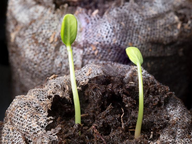 Выращивание ваточника из семян