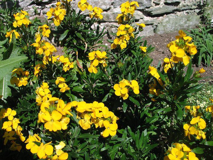 Уход за желтушником в саду