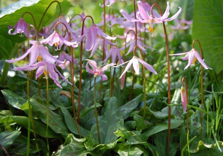 Кандык (эритрониум): посадка и уход в открытом грунте, выращивание, фото и виды