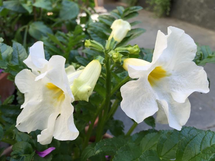Виды и сорта инкарвиллеи