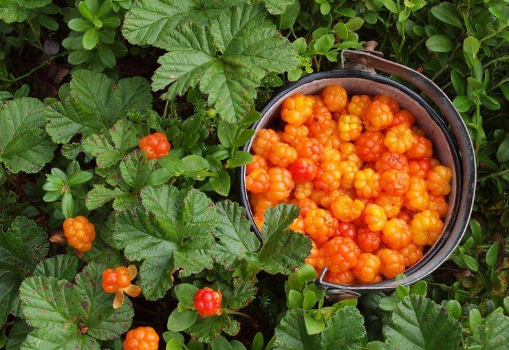 Сбор и хранение ягоды морошки