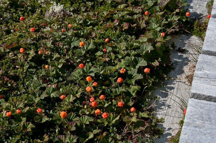 Уход за морошкой в саду
