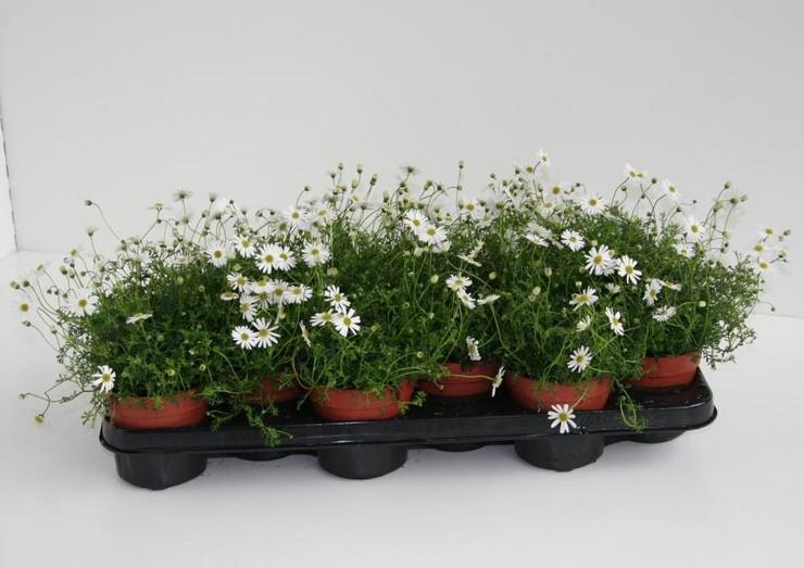 Когда ростки появятся, стекло или пленку нужно снять и перенести посевы в светлую комнату с ярким и рассеянным освещением.