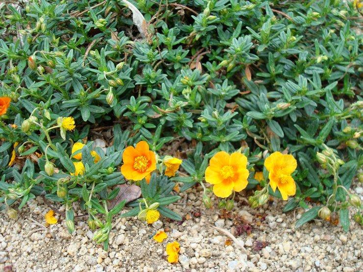 Посадка солнцецвета в открытый грунт