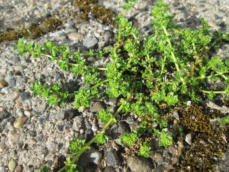Грыжник: посадка и уход в открытом грунте, лечебные свойства и противопоказания