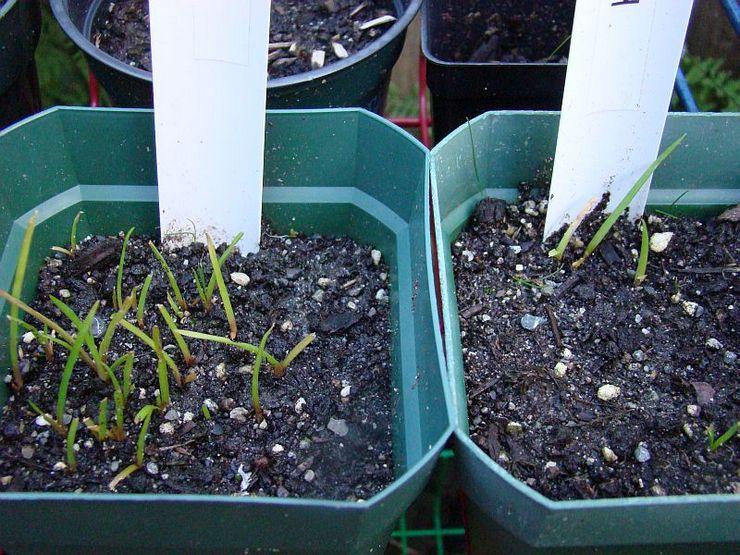 Выращивание книфофии из семян