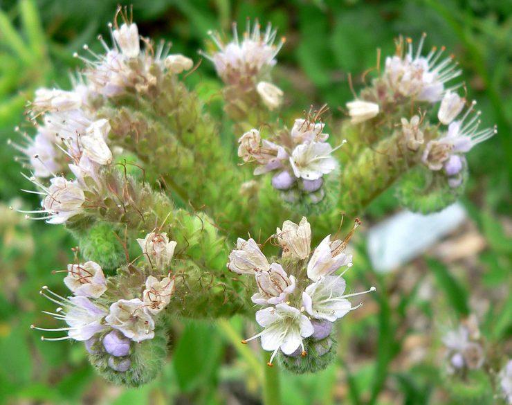 Фацелия серебристая (Phacelia argentea)