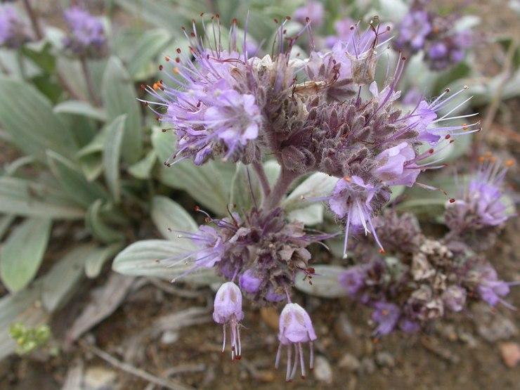 Фацелия копьевидная (Phacelia hastata)