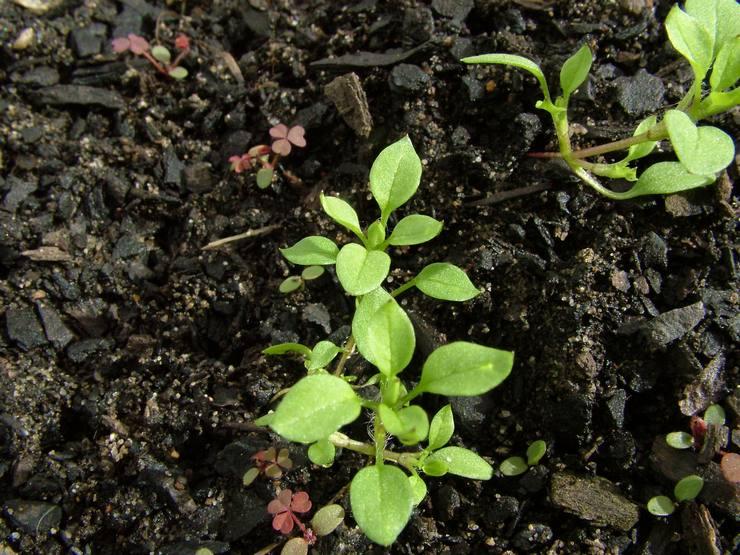 Выращивание звездчатки из семян