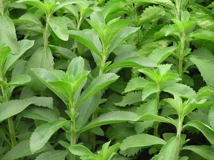 Стевия: посадка и уход в открытом грунте, выращивание, лечебные свойства