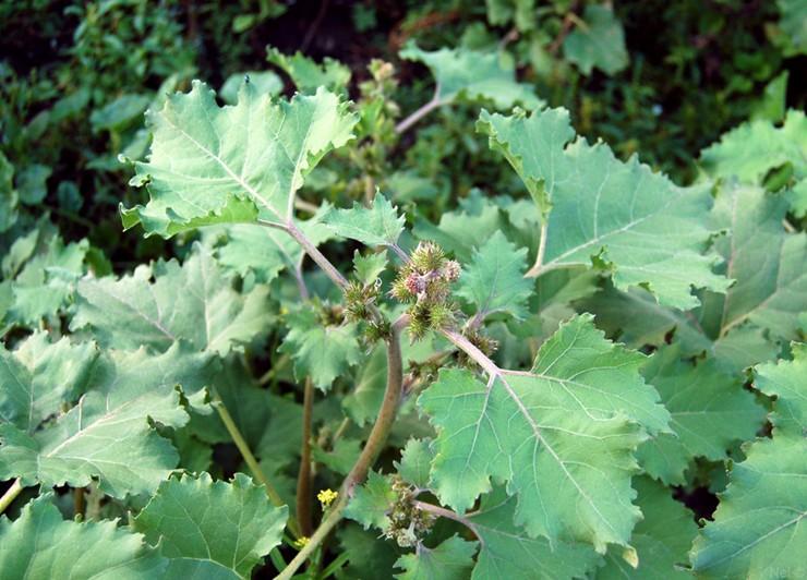 Дурнишник сибирский (Xanthium sibiricum)