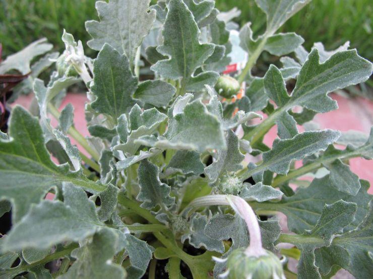 Выращивание арктотиса из семян