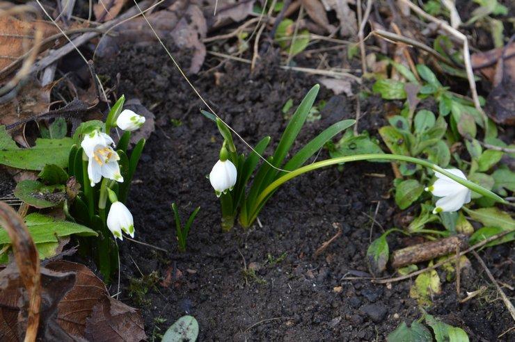 Болезни и вредители белоцветника