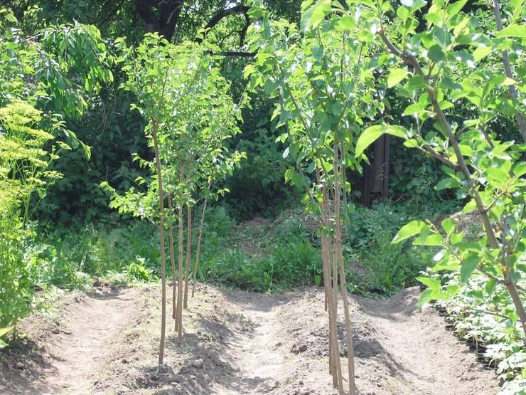 Выращивание шелковицы