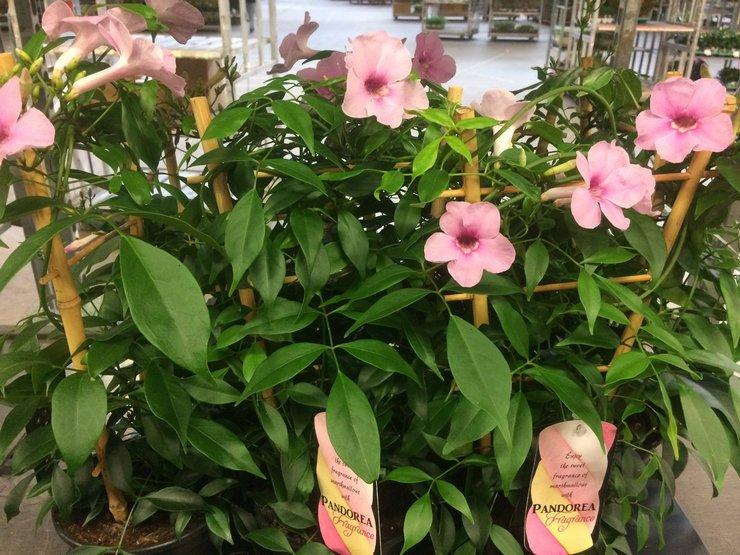Растение пандорея