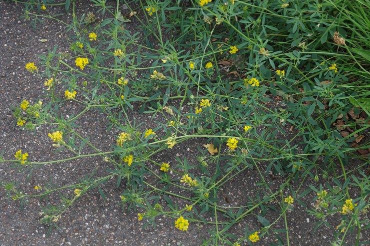 Выращивание люцерны в качестве кормовой травы